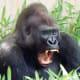 Gorilla at the National Zoo in Washington DC