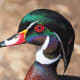 Wood Duck at the National Zoo in Washington DC
