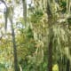 Spanish moss hanging from trees