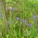 Iris and Bald Cypress tree near a bog