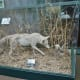 Coyote in a display case