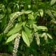 Sweetspire shrub at the Houston Arboretum