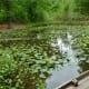 Lotus leaves & other aquatic plants