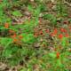 Tropical Salvia