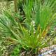Palmetto palms grow best in wetlands