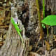 Anole Lizard with extended dewlap