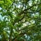 Post Oak Tree at Houston Arboretum