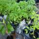 Tomato plants & more at the Eastside Farmer's Market