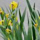 Louisiana Iris in bloom