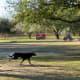 Dogs running freely in open grassy areas in Congressman Bill Archer Park