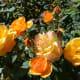 Roses at the International Rose Test Garden in Portland, Oregon