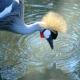 Grey Crowned Crane-Austin Roberts