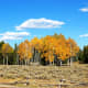 Aspens along Moose-Wilson Road in Grand Teton National Park, Wyoming