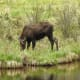 Female moose grazing off of Trail Ridge Road in Rocky Mountain National Park near Grand Lake, Colorado.