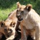 African lion cubs at the Virginia Zoological Park in Norfolk, VA
