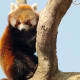 Red Panda at the Virginia Zoological Park in Norfolk, VA