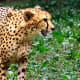 Cheetah at the Virginia Zoological Park in Norfolk, VA