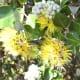 Yellow lehua flowers (Metrosideros polymorpha)