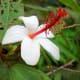 Rare native Hawaiian white hibiscus (Hibiscus waimeae)