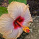 Hibiscus flower - Waimea Valley, Oahu