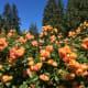 Beautiful orange roses