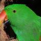 Kiwi, a male Eclectus Parrot
