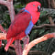 Ruby, a female Eclectus Parrot