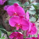 A beautiful pink orchid