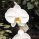A white orchid
