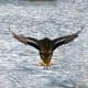 Duck landing at Bay Beach Wildlife Sanctuary  at Green Bay, Wisconsin