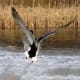 Duck landing at Bay Beach Wildlife Sanctuary  at Green Bay, Wisconsin