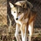Red Wolf at NEW Zoo in Green Bay, Wisconsin