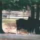 Clydesdale horses at Busch Gardens, circa 2010.