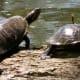 Red-eared slider turtles at Kickerillo-Mischer Preserve