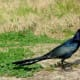 Boat-tailed Grackle at Goforth Park