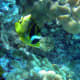 Raccoon Butterflyfish - one of the few not on the White List