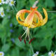 Turk's Cap Lily Moses Cone Park - Blowing Rock, North Carolina