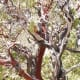 Beautiful manzanita, with its red and white bark.