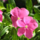 sadabahar-periwinkle-plant-or-vinca-rosea-health-benefits-and-uses