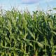 Corn, contains ethanol that could help revive the gasoline/petrol powered car in a world without oil. But would we be able to produce enough?