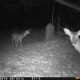 Deer at night