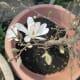 Magnolias Emerging