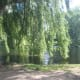 Weeping Willow in the Boston Public Garden
