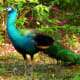 Peacock roams the grounds