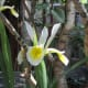 Yellow Iris - (like those on the Somerset Rhynes)