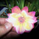 A paper flower laminated to a polymer image - Cosmos