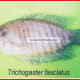 Trichogastr fasciatus