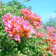 all-about-bougainvillea