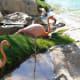 Flamingoes at the Fairmont Acapulco Princess Hotel