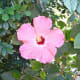 One of many beautiful pink hibiscus flowers